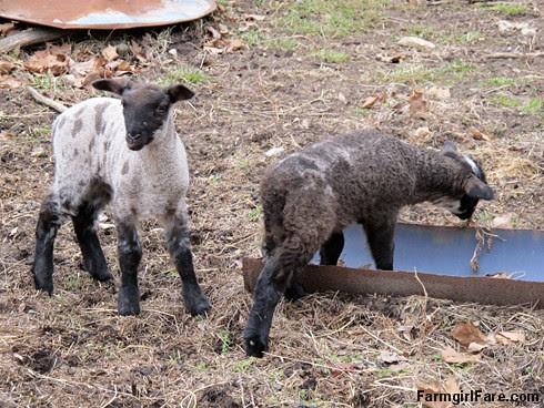 Curious little lambs (3) - FLB's twin boys - FarmgirlFare.com