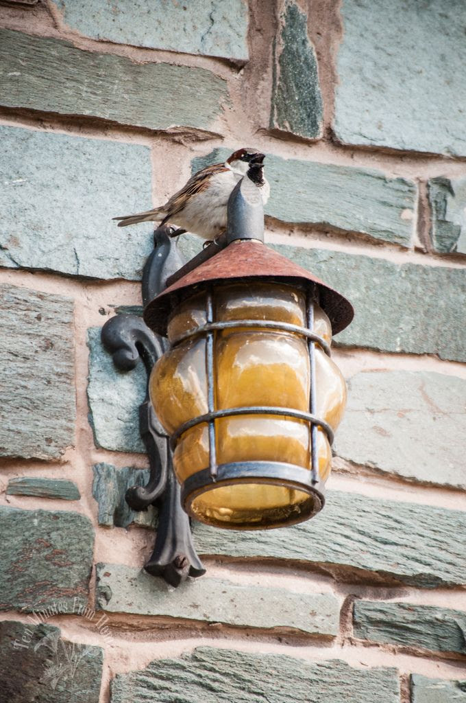 whenever, Sparrows like to nest in the walls of house!