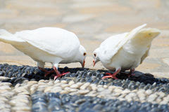 White pigeon eating Royalty Free Stock Image