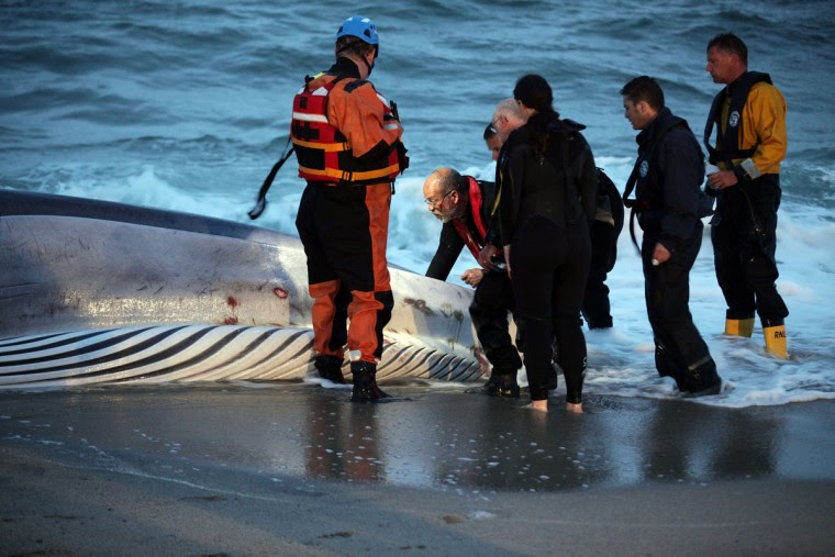 Rescuers examine a female fin whale, which has just died as it lies stranded on the beach at Carlyon Bay on August 13, 2012 in St Austell, England. (Matt Cardy/Getty Images)