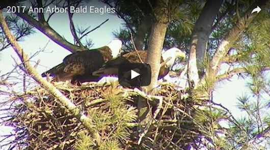 Watch Live Stream of Bald Eagle Nest Near Ann Arbor, Michigan |