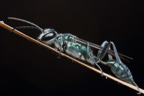 Sleeping wasp...IMG_1144 copy