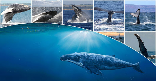 Top 10 Humpback Whale Facts You May Not Know - Boss Frog's Snorkel, Bike & Beach Rentals