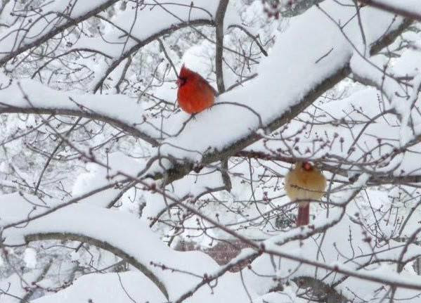 Male and female cardinals in snowy tree HomeRome.com