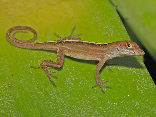 Brown Anoles - New lizard found at Gardens by the Bay