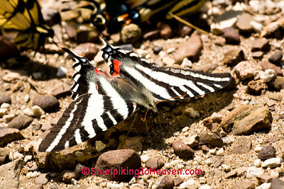 Zebra Swallowtail Butterfly, Newton County, Arkansas