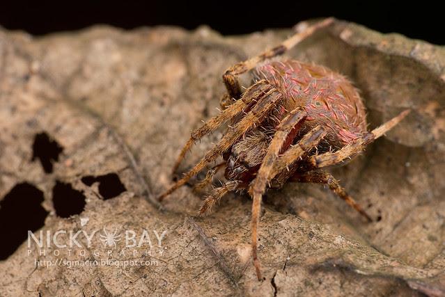 Orb Web Spider (Araneidae) - DSC_7360