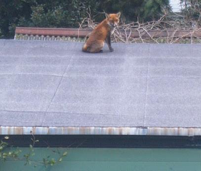 Fox on my Garage 1