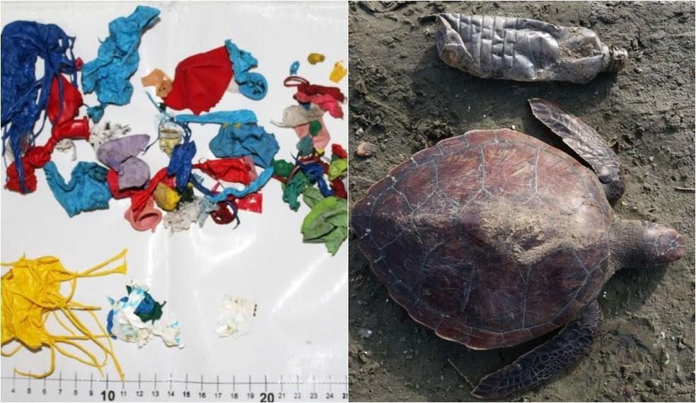 Animal foi encontrado morto com várias bexigas no estômago (Foto: Divulgação/Instituto Argonauta)