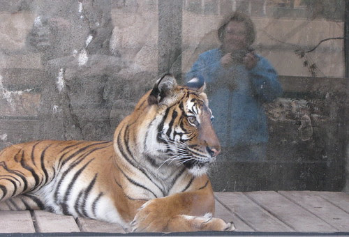 Tiger and Reflection
