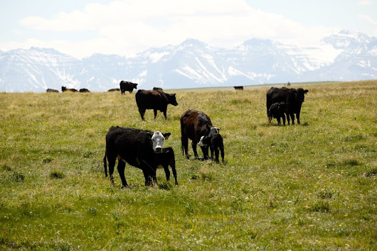 Twelve Albertans vying for Cattlemen's Young Leaders' spots - Alberta Farmer Express