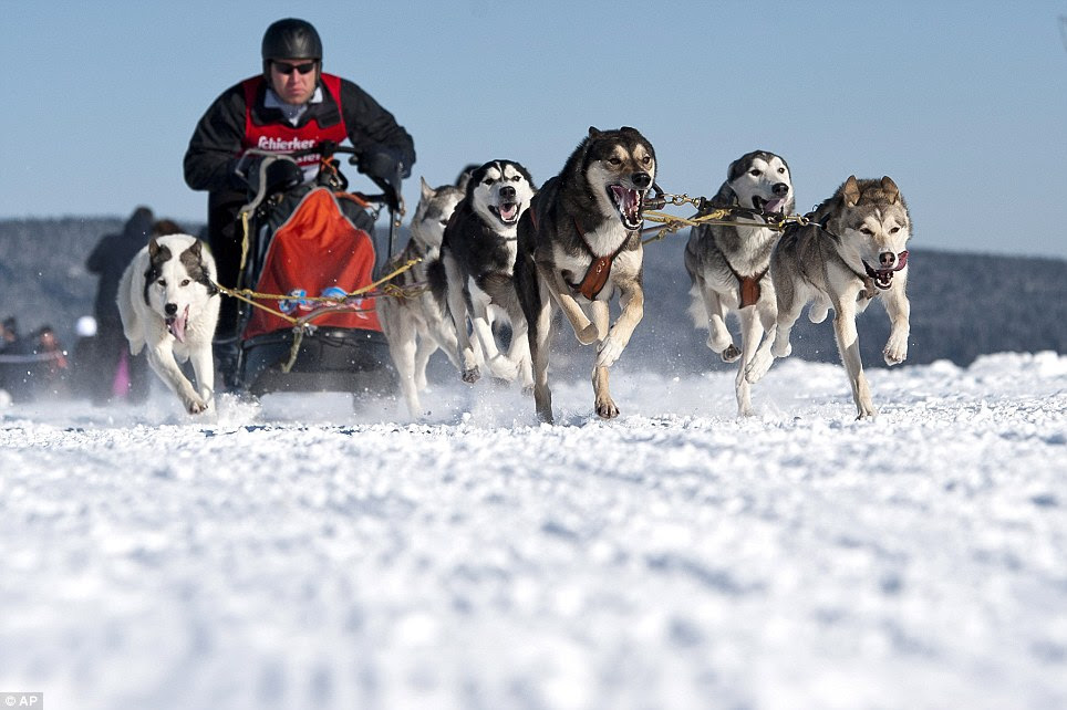 Mush! A competitor speeds through the snow with his Siberian huskies during a dog race in Clausthal-Zellerfeld, Germany