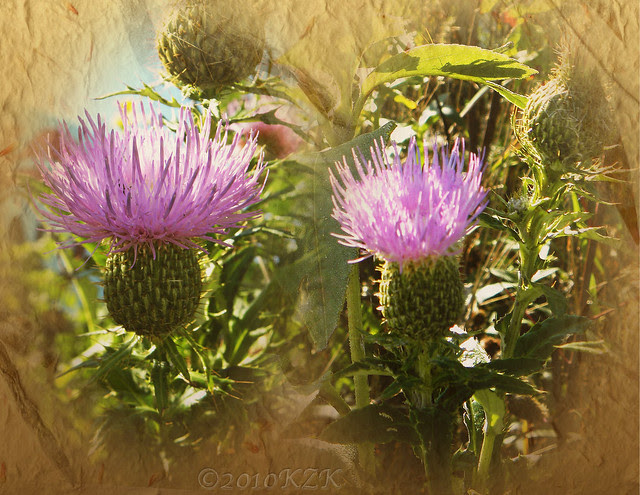 CollageThistle1