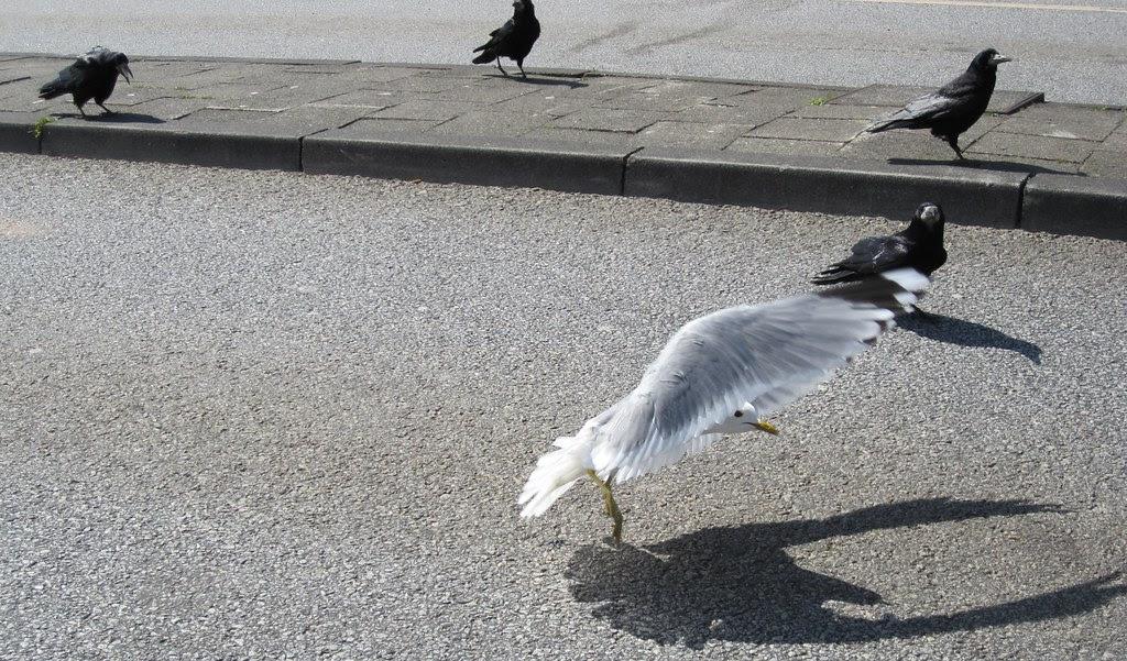Måge i Puttgarten