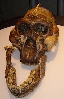 Cráneo de Paranthropus boisei
