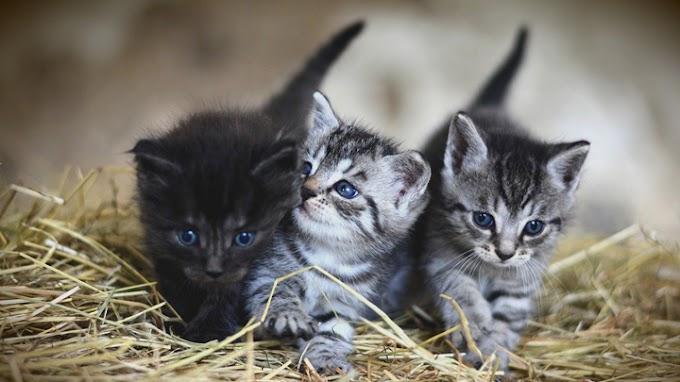 Trucos para saber si el gatito es macho o hembra