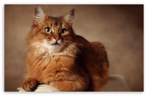Red Cat Desktop Wallpaper