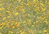daises - online jigsaw puzzle - 60 pieces