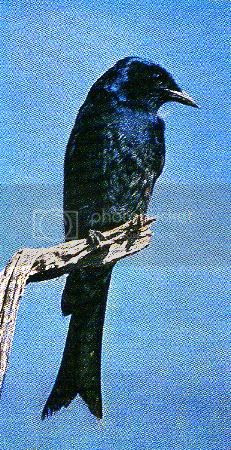 Pg12-6, FORK-TAILED DRONGO