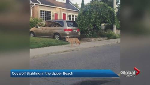 Coywolf: A new hybrid animal spotted in Toronto's Upper Beach neighbourhood | Watch News Videos Online