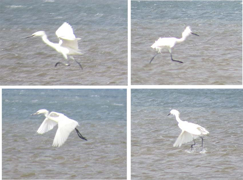 reddish egret dance 4 panel