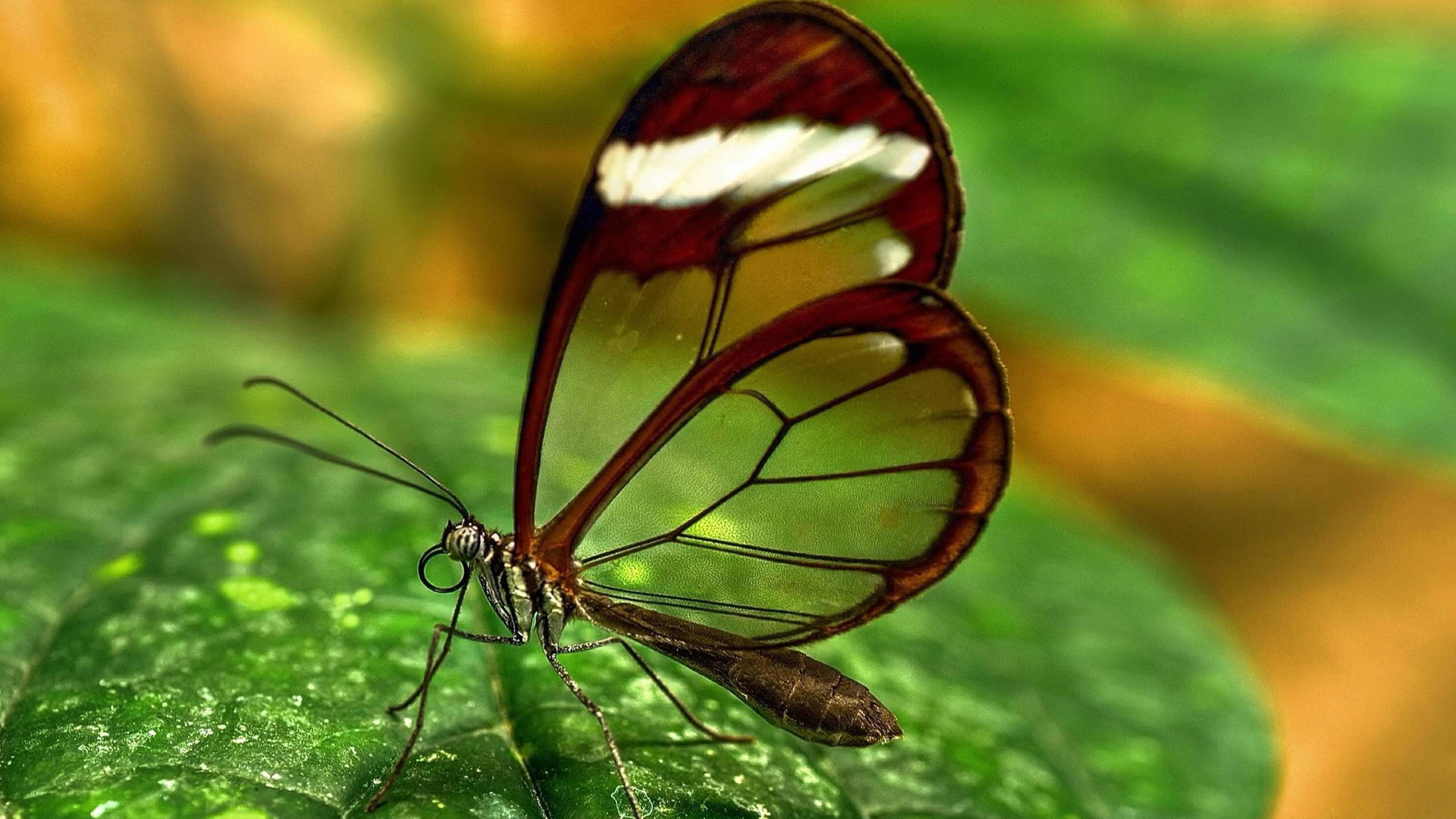 Free Download Picture of Glasswing Butterfly for Wallpaper ...