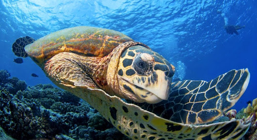 Congo's Sea Turtles at Risk, Gertler Family Foundation Steps In - Finally Good News