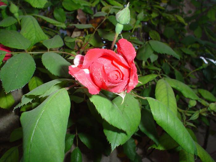 Fotografía De Una Rosa Para Otra Rosa
