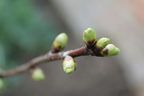 fruit buds