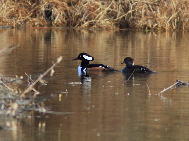 Hooded Mergansers 20131105
