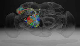 Complete Fly Brain Image at Nanoscale Resolution