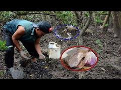 Clip lội rừng ngập mặn săn sâm đất ở Cà Mau