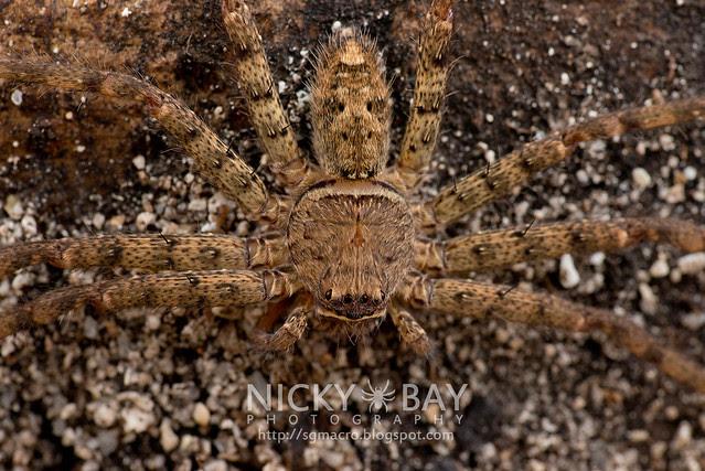 Huntsman Spider (Sparassidae) - DSC_6742