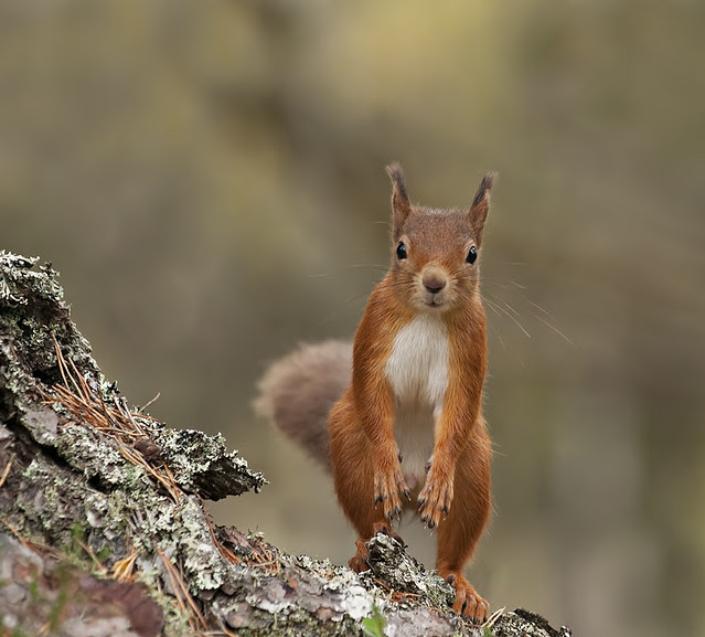 Red Squirrel checking me out (Explored)