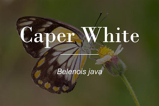 The Caper White Butterfly (Belenois java) - Macrokosm