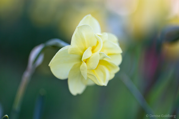 daffodil in yellow, moving in the wind
