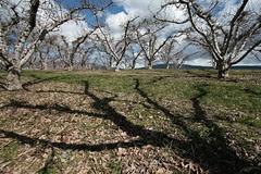 orchard-shadow