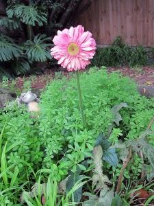 unexpected-gerber-daisy