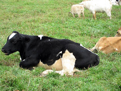 An October Farm Day! Daisy Cow!