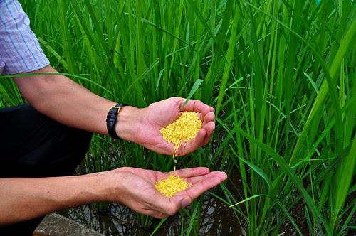 Golden Rice grain (1)-8