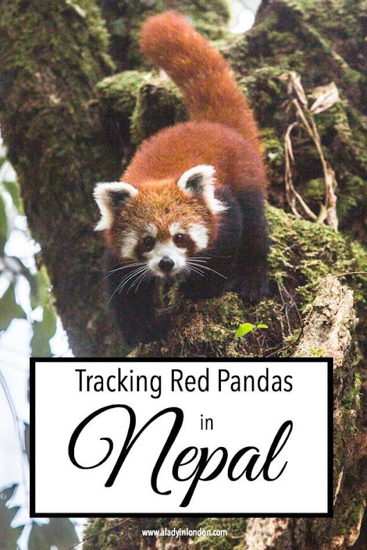 Tracking Red Pandas in Nepal - How to See Them in the Wild