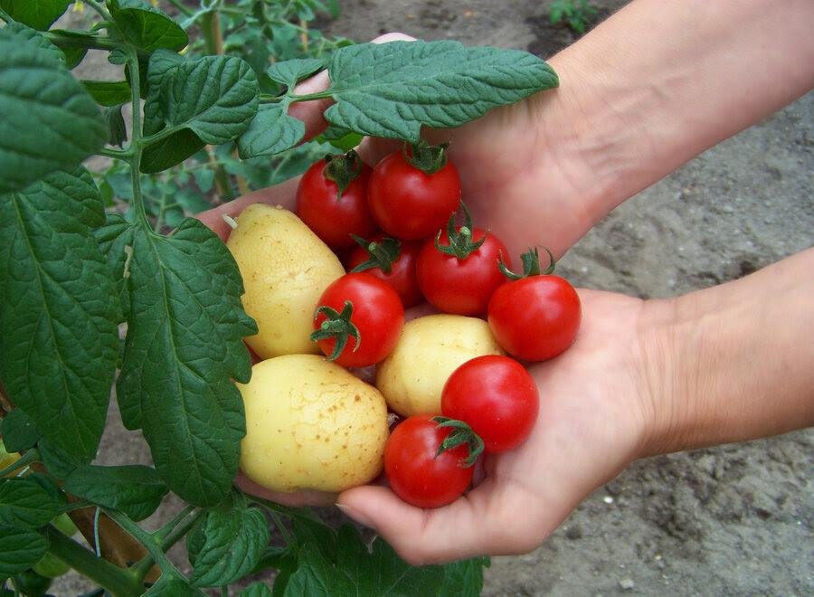 Αποτέλεσμα εικόνας για Potatoes fried with tomatoes