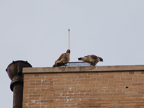 Hawks atop St. Luke's