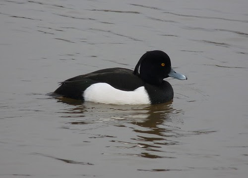 11921 - Tufted Duck at Sandy Water Park