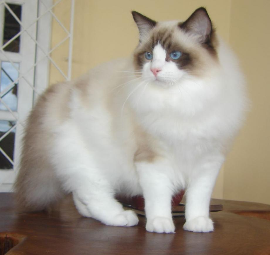 Unduh 66+  Gambar Kucing Ragdol Paling Bagus HD