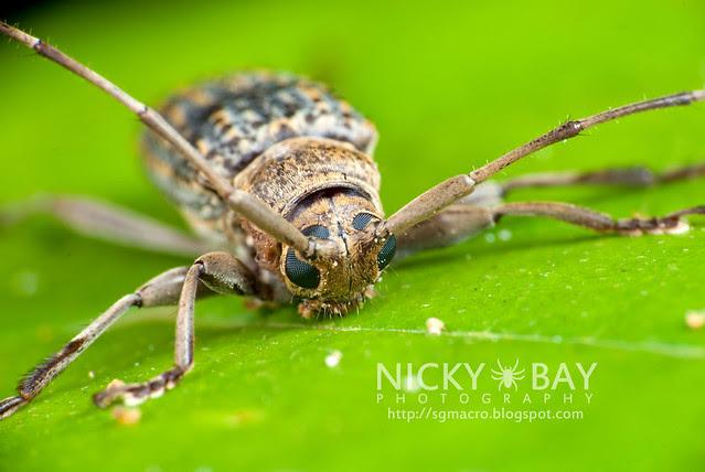 Longhorn Beetle (Cerambycidae) - i02799