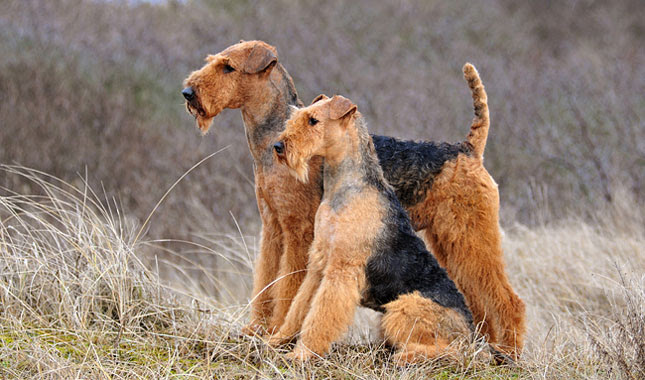 Airedale Terrier Breed Information