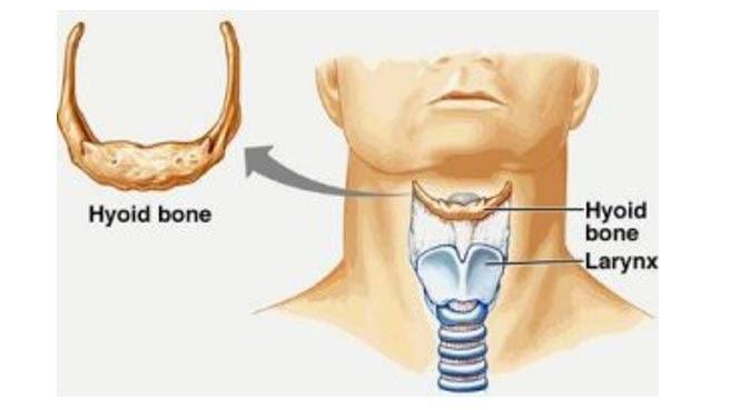 Imagen que representa la ubicación del hueso hioides y la laringe en un humano moderno (Lasaludfamiliar)