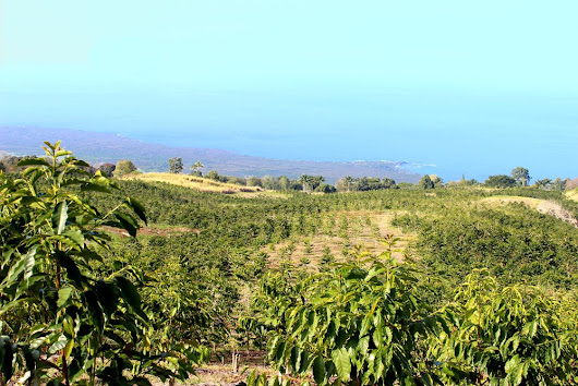 225-acres of Prime Kealakekua Farmlands Protected in Perpetuity Hawaiian Islands Land Trust acquires second conservation easement from HCC Farms, LLC ensuring that the land will remain in agriculture
