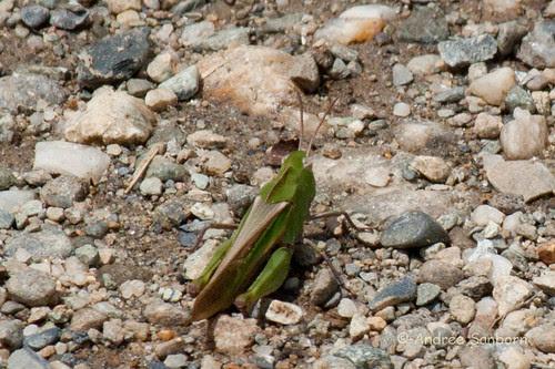 Unidentified grasshopper-4.jpg